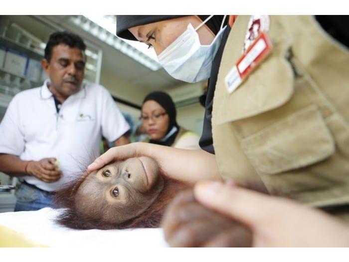 Orangutan Internship Perak